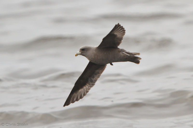 Northern Fulmar at pelagic out of Bodega Bay, CA (10-15-2011) - 342.jpg
