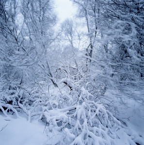 Winter storm in a forest