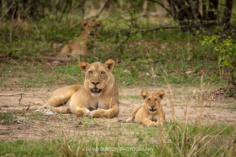 Bili_Lion-n-cubs_9079cc2fx-web.jpg