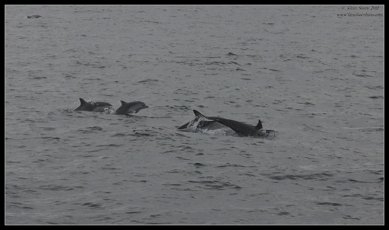 Common Dolphin with adult and calves, Whale Watching trip on 'America' sail boat, San Diego County, California, September 2011
