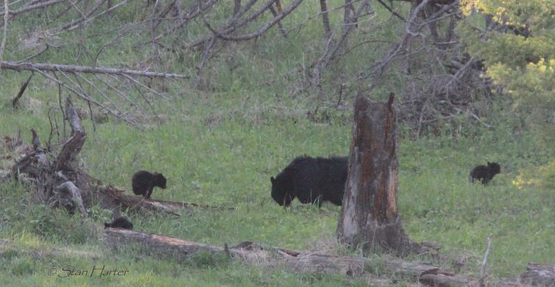 Tower Black Bears.jpg