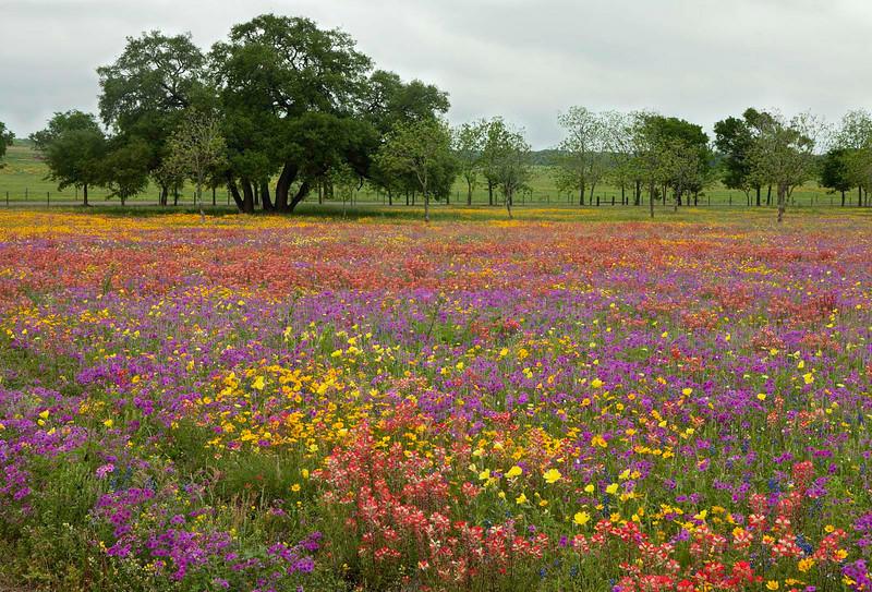 Texas wildflowers 816