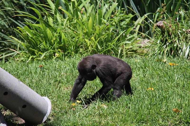 20170807-145 - San Diego Zoo - Gorilla.JPG