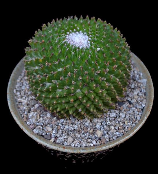 Mammillaria species Tlayecac