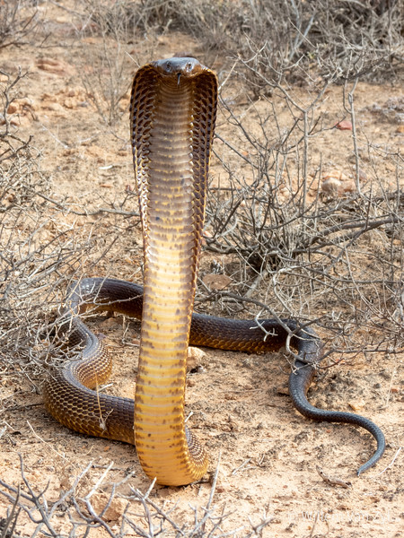 20200213 Cape Cobra (Naja nivea) from Vredendal, Western Cape
