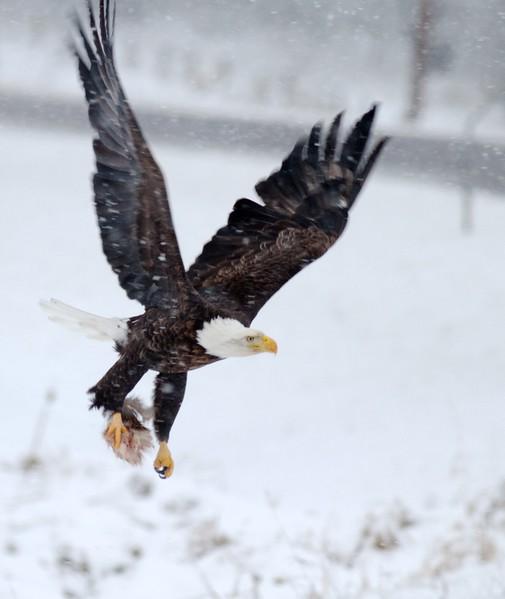 Bald Eagle at carcass CR47 Sax-Zim Bog MN IMG_8312.jpg