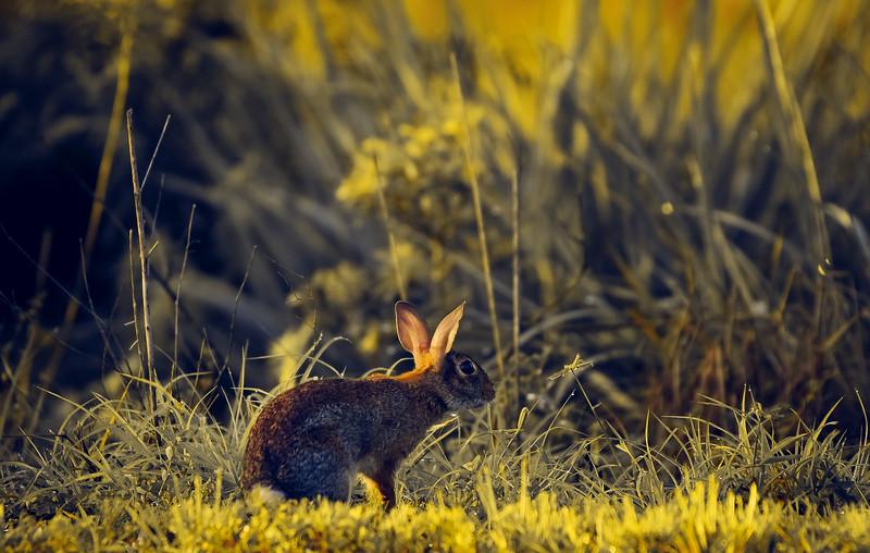 Florida Marsh Rabbit - 81.jpg