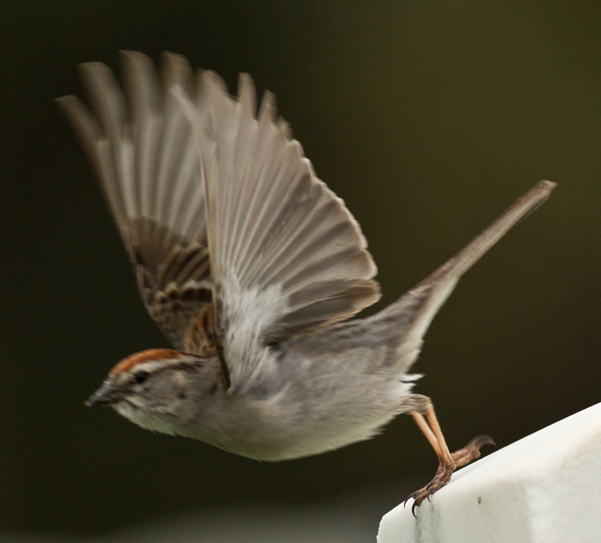 Chipping Sparrow   Fort Rosecrans 2014 05 05-6.CR2