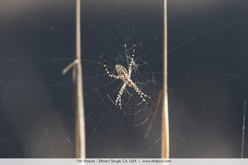 Orb Weaver - Elkhorn Slough, CA, USA