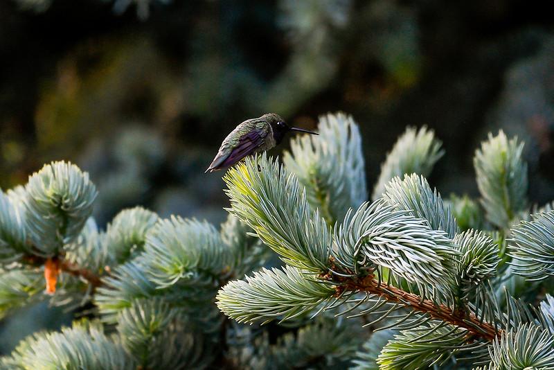 21MayHummingbirds (16 of 53).jpg