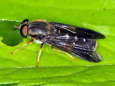 Xylophagidae