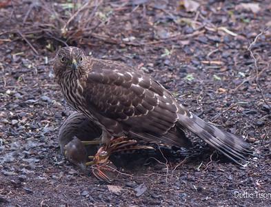 Young Hawk,