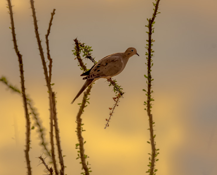 White-winged Dove on Ocotillo #1