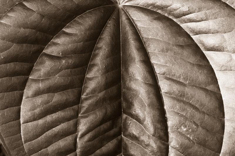 2008-07-19 black and white leaf study - Copy.jpg