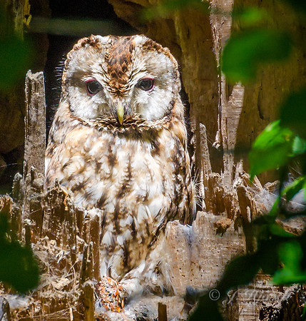 Natugle, Tawny Owl eller Brown Owl (Strix aluco)