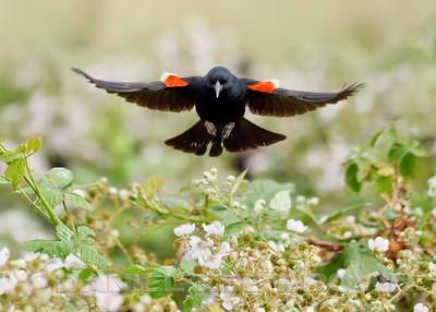 TRICOLORED BLACKBIRD COLONY, EASTERN SACRAMENTO COUNTY