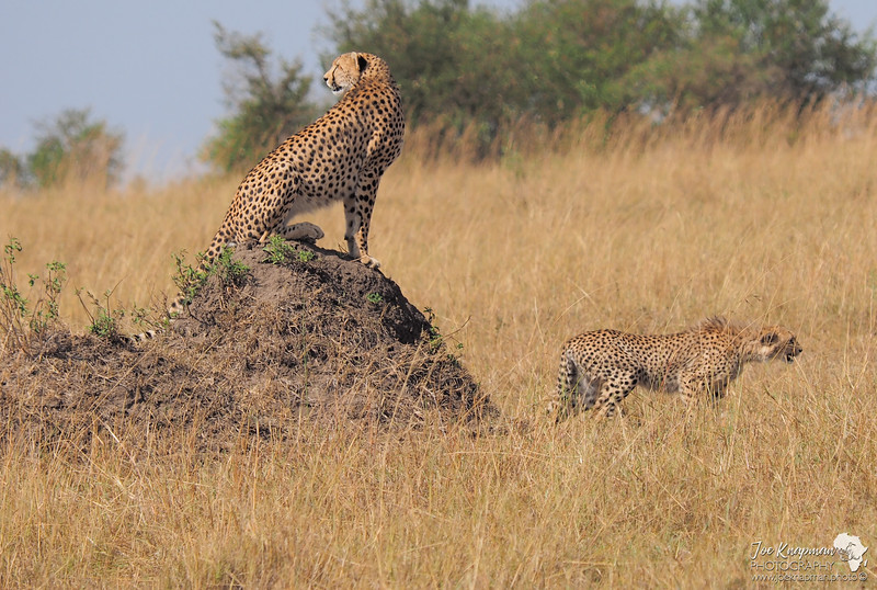 Cheetah and Cub