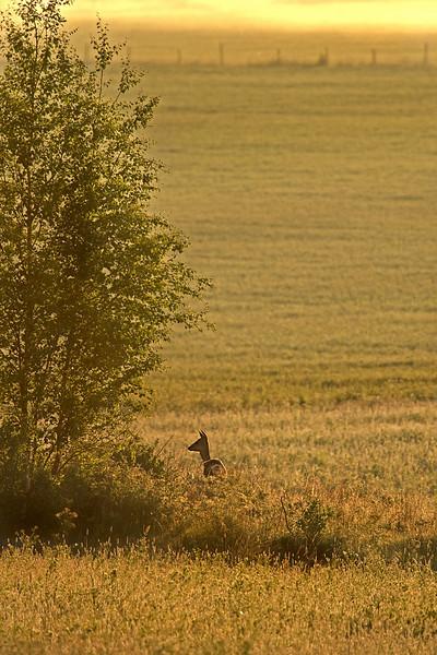 Deer_on_the_field.jpg