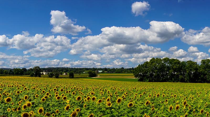 sunflowers - sunflower field pano wrightsville (p).jpg