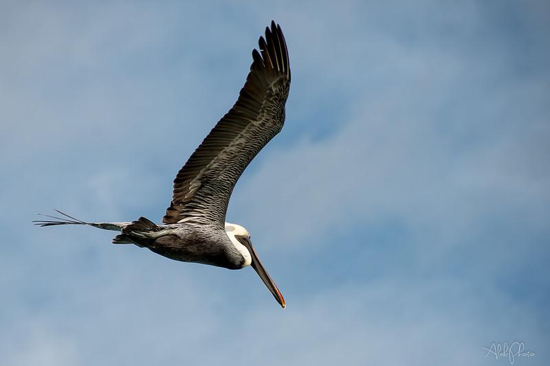 Pelican_2