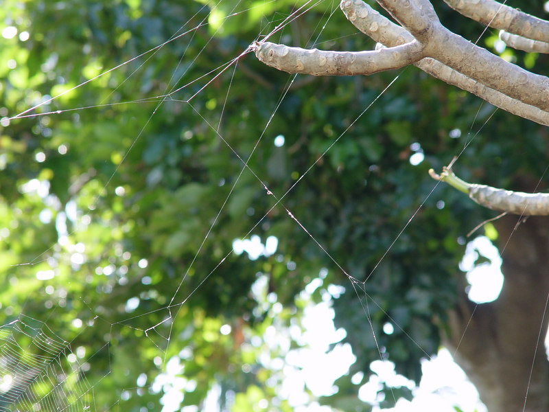 Jewel, Crab or Spiny Spider (Gasteracantha cancriformis or Gasteracantha elipsoides)