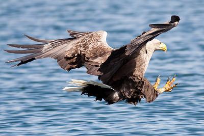 Eagles on the Isle of Mull