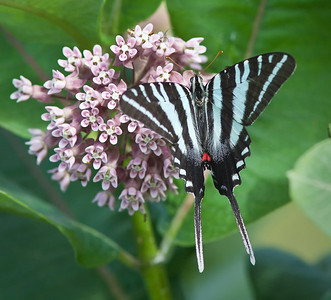 Indiana Butterflies, Moths,  & Dragonflies