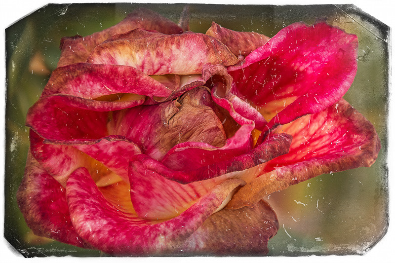 June 23 - Rose.jpg