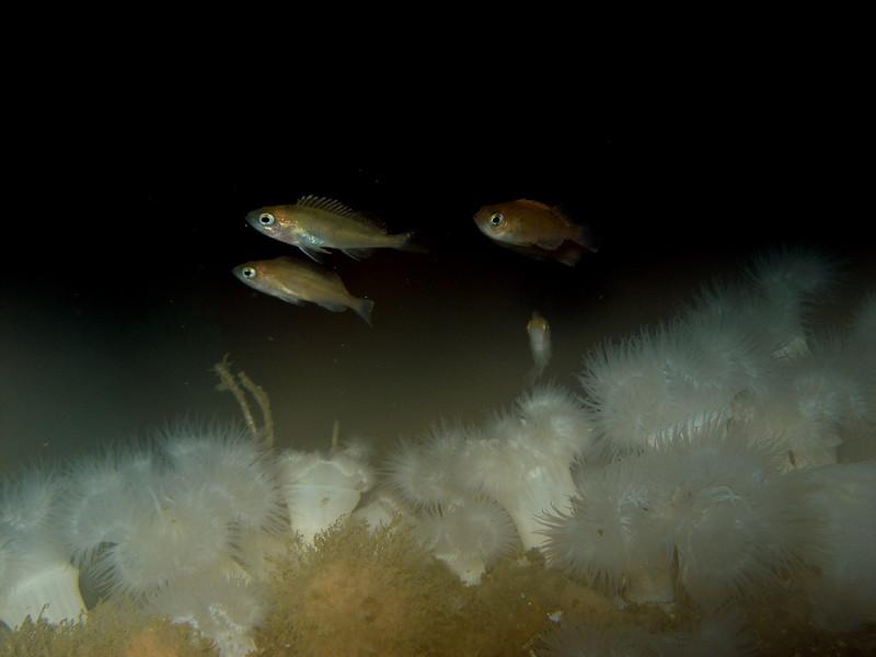 Rockfish deep on a rig covered in metridium, 90ft deep