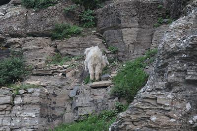 06 09 Goats