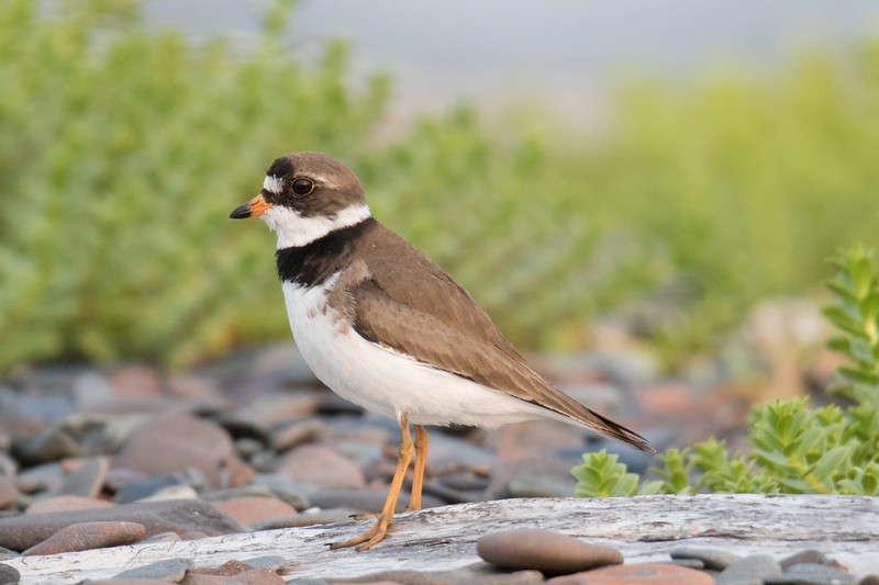 Semipalmated Plover-1.jpg