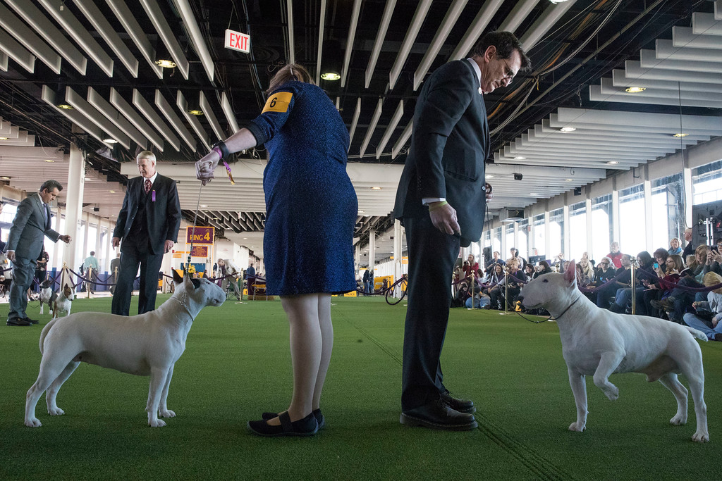 . Handlers present miniature bull terriers in the ring during the 141st Westminster Kennel Club Dog Show, Tuesday, Feb. 14, 2017, in New York. (AP Photo/Mary Altaffer)
