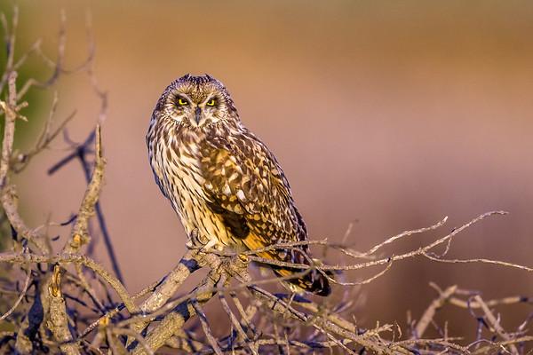 Short Eared Owl 2-23-18