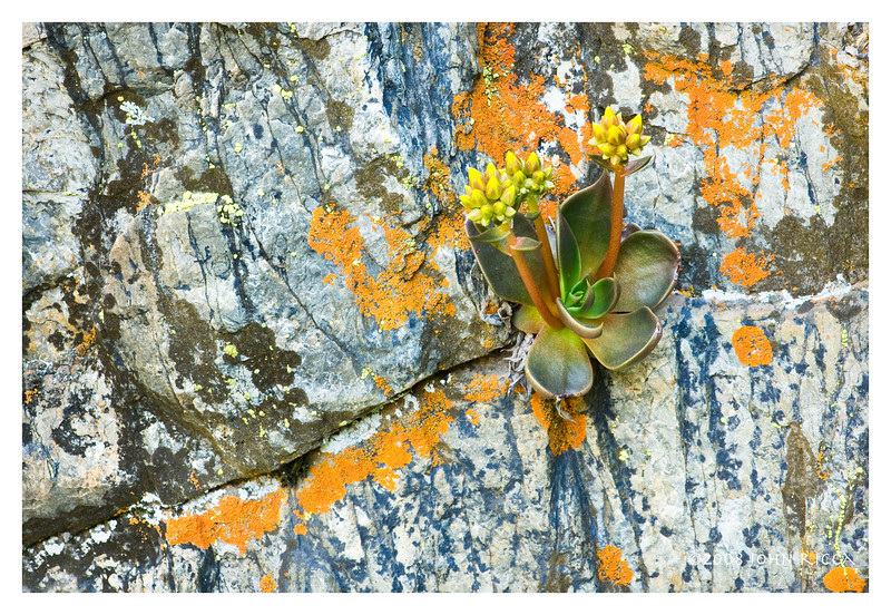 Dudleya & Lichen on Canyon Wall.jpg