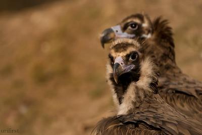 Vultures Spain 2017