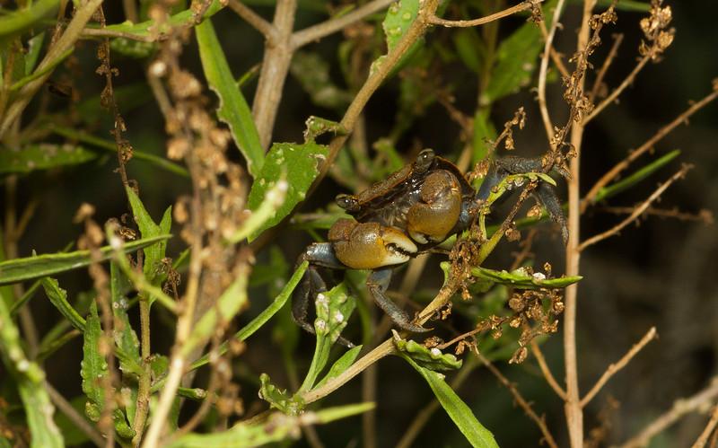 Mangrove crab, Aratus pisonii, from the Timucuan Preserve in Florida.