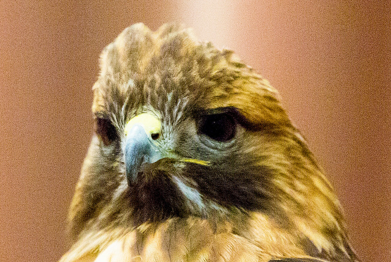 "The Red-tailed Hawk gives us ""the look""."