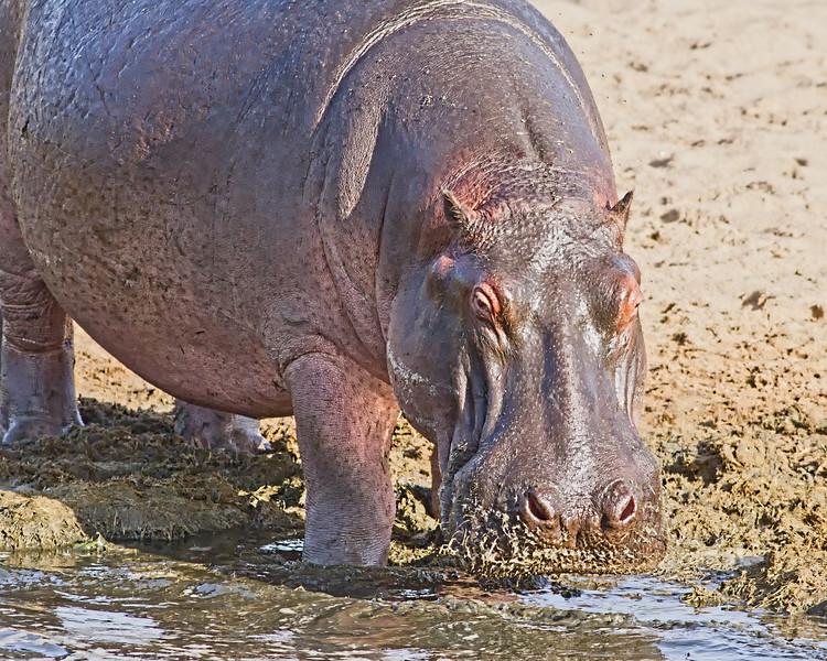 TANZANIA - HIPPOS
