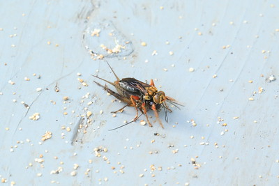 Attack of the Great Golden Digger Wasp