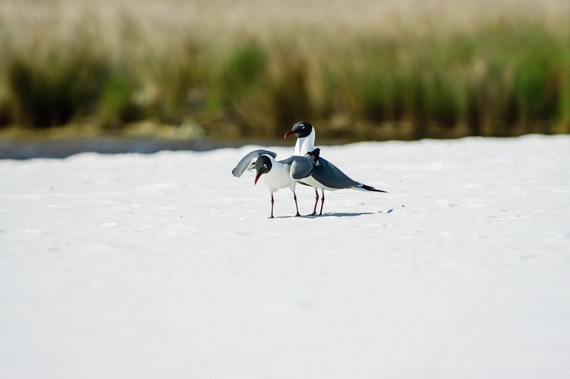 20050416 Destin Beach Birds 036.jpg