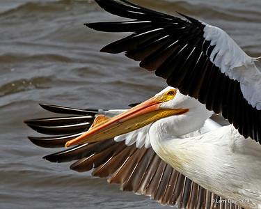 Pelicans - Spring 2014