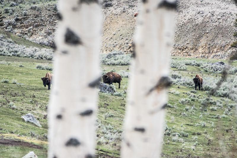 Bison Yellowstone National Park WY DSC05047.jpg