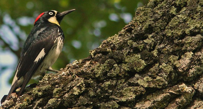 WB~WoodpeckercolonylookingupA1280.jpg