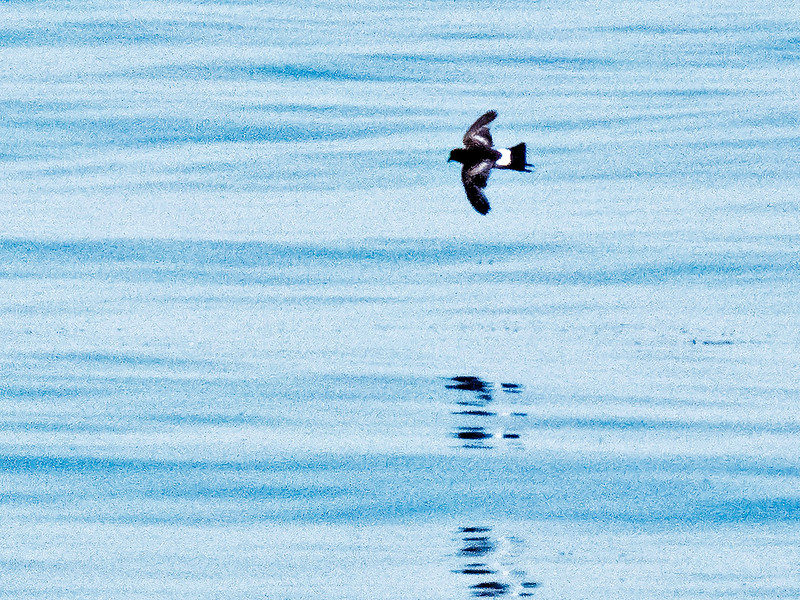 a706 906 20150725_88 3 crp 2nd of 2 Wilson's Storm-Petrels Atlantic from Bar Harbor 0706 1109.jpg