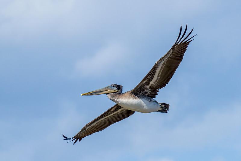 Brown Pelican at Moss Landing