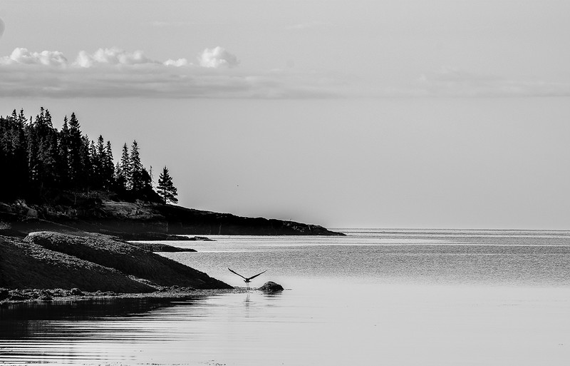 Blue Heron - Acadia National Park.jpg