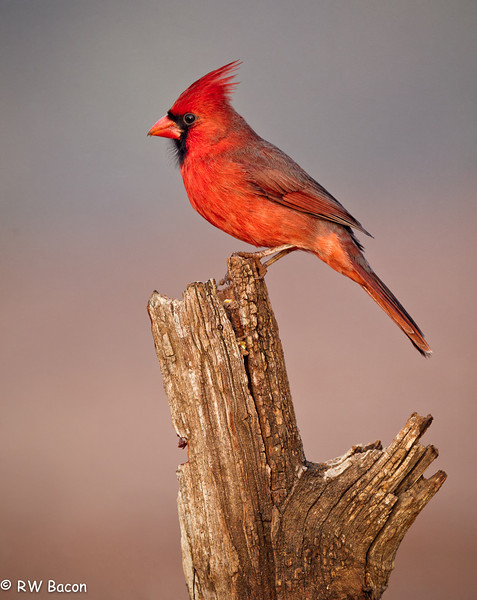 LRGV - Cardinal on a Stump.jpg