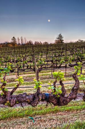 Vineyards in Spring