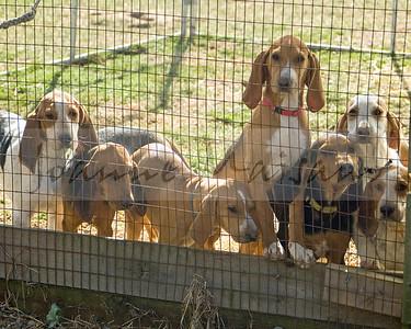 Snickersville Hound pups (3 months)