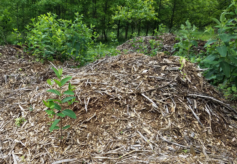 The first milkweed I saw was in a wood chip pile that I talked the phone company line clearing crew to dump here -- about 6 of those huge truckloads.  The next spring, 2015,  this came up and as near as I could determine with my books was that it was  a milkweed.